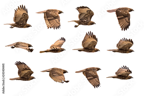 Hawk in flight in various positions isolated on white background