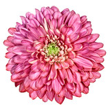 Red chrysanthemum on white isolated background with clipping path. For design. Close-up. Nature.