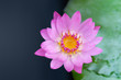 top view pink lotus and lotus leaf on water on nature background,copy space