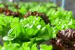 Leinwandbild Motiv Green lettuce salad plant in organic garden.