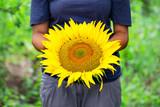 Sunflower in hands of woman farmer - 243436247