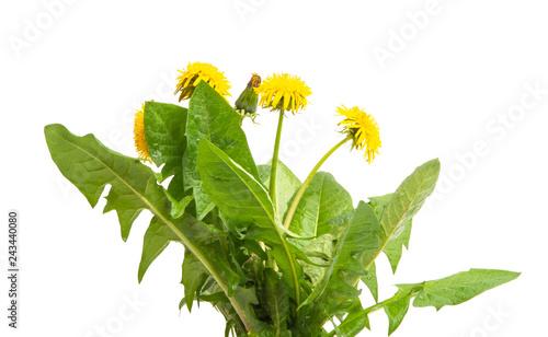 dandelion flower isolated - 243440080
