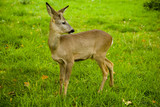 little deer on a meadow with green grass - 243441820