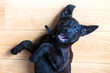 Leinwanddruck Bild - Labrador puppy lies on his back and invites him to play. Pets care