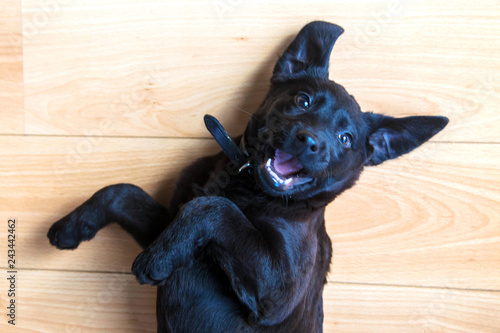 Leinwanddruck Bild Labrador puppy lies on his back and invites him to play. Pets care
