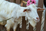 goat with flowers on a farm - 243442863