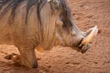 Closeup of warthog profile on its knees - 243457679