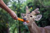 Feed the Barking deer  in the zoo. - 243460427