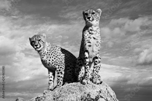 Obraz na płótnie Gepard