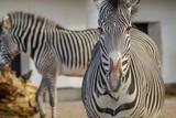 Fototapeta Fototapeta z zebrą - portrait of a zebra © vartzbed