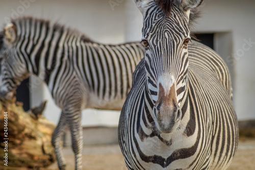portrait of a zebra - 243466844
