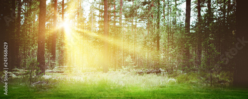 Forest sunrise landscape background morning - 243468629