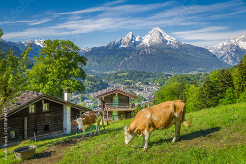 Idyllic alpine scenery with mountain chalets and cows grazing on green meadows in springtime
