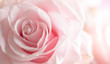 Leinwandbild Motiv Close up of tenderness pink  rose.