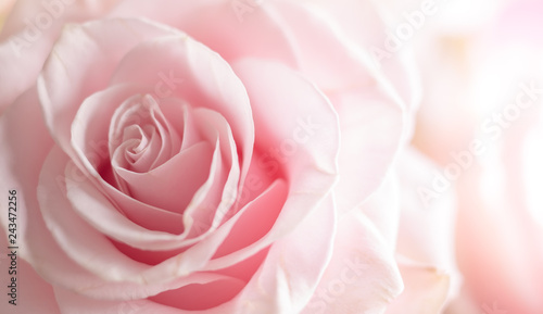 Wall mural Close up of tenderness pink  rose.