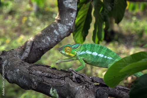 Green chameleon moves along the tree trunk in the jungle of Nosy Be Island, Madagascar