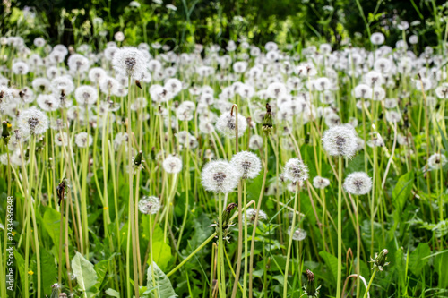 field with lots of white dandelions - 243486848