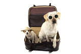 Fototapeta Psy - TWO DOGS GOING ON VACATIONS. JACK RUSSELL AND LABRADOR INSIDE A RED VINTAGE SUITCASE. ISOLATED SHOT AGAINST WHITE BACKGROUND. © Sandra