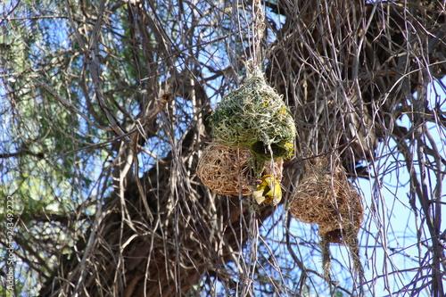 Ein gelber Webervogel beim Nestbau in Südafrika
