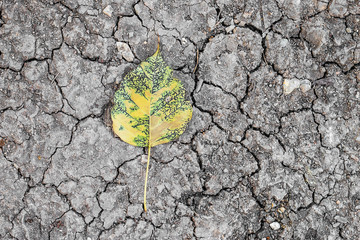 Old yellow bodhi leaf on The dry cracked soil surface. © adisorn123