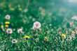 Yellow and white dandelions flowers in grass, selective focus, spring natural meadow