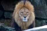 Löwe (Panthera leo) Portrait - 243512849