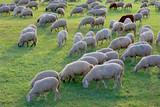 Hausschaf Herde auf Weide, Bayern, Deutschland - 243513006