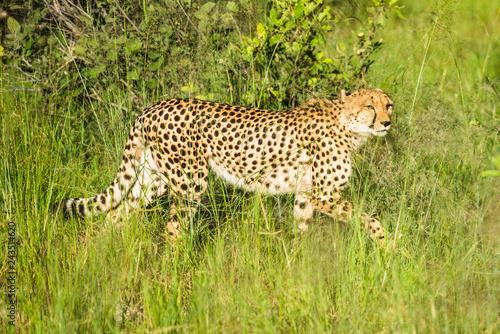 Poster Cheetah walks through long grass in savannah Acinonyx jubatus