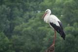 White european stork standing on the pole at rain against a forest background