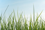 Long fresh green grass against a blue sky in the field in evening - 243516668