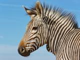 Fototapeta Fototapeta z zebrą - Zebra Kopf © eagel2005cx