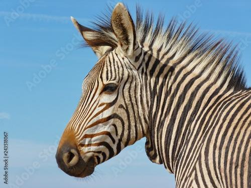 Zebra Kopf - 243518067