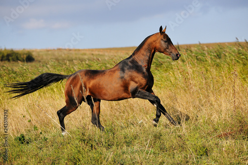 Bay Akhal-Teke stallion gallops through summer field in tall grass. Horizintal photo, looking straight forward, in motion, side view.