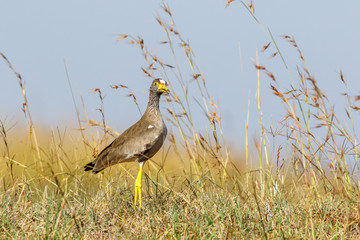 African Wattled lapwing standing on the savannha and looking at the camera