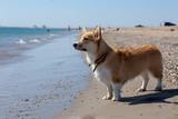 Corgi on a beach