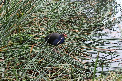 bird in grass on the coast of lake. Australia