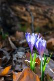 purple saffron flowers in fallen foliage. beautiful spring nature scenery. - 243529265