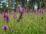 Blumenwiese mit violetten Blüten - 243533054