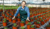 Young female gardener in apron working with  seedlings of oregano  in pots - 243534029
