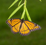 Female Viceroy butterfly laying eggs on tips of Willow tree leaves in fall