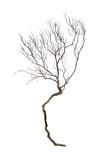 Dry branch - 243537670