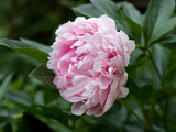 beautiful peony in the garden - 243539422