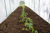 Tomato seedlings in the garden in the greenhouse - 243540220