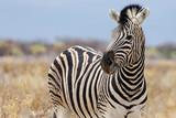 Fototapeta Fototapeta z zebrą - Zebra in Namibia © Martina