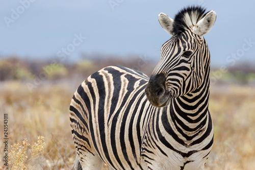 Zebra in Namibia - 243543011