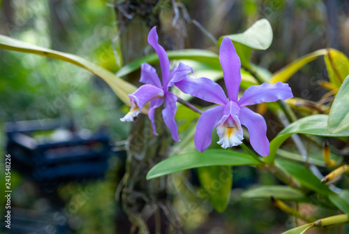 Violet orchid in a tropical garden - 243548226