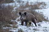 Wild boar in forest on snow