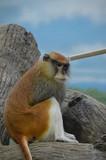 A Patas Monkey - 243566845