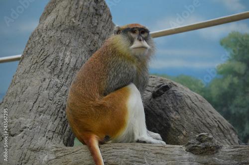 Poster A Patas Monkey