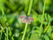 Small blue butterfly ( Cupido minimus )